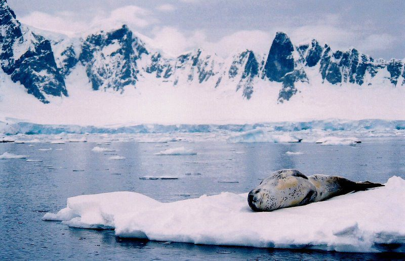 Leaopard Seal in Antarctica